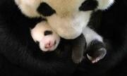 عکس روز| توله پاندا در آغوش مادر