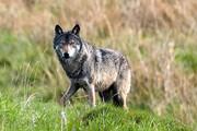 احتمال حمله گرگها در رزن زیاد است
