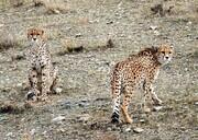 مشاهده ۲۱ یوزپلنگ از ابتدای سال | ۱۳ یوز شناسنامهدار شدند