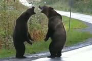 ویدئو | دعوای ۲ خرس وسط جاده | چه بلایی سر فیلمبردار آمد؟