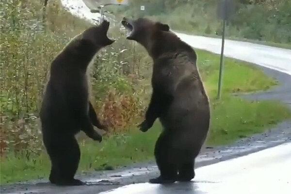 خرس - حيوانات