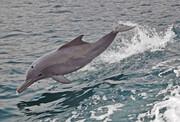 طرح حفاظت از دلفین گوژپشت خلیج فارس تدوین شد