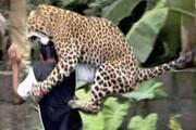 حمله پلنگ گرسنه به دامدار شویلاشتی | گاو ماده ناجی دامدار شد