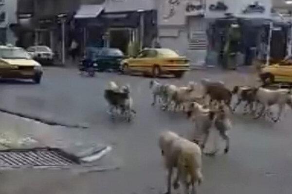سگهای ولگرد