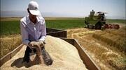 خرید گندم از کشاورزان ۳۰ درصد کاهش یافت | تامین نیاز داخلی با گندمهای وارداتی