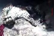 ویدئو | سوزاندن و کشتار دردناک پلنگ ایرانی