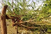 خسارت رعد و برق و توفان شدید به نخلداران و دامداران منوجانی