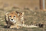 همکاری ایران با ایتالیاییها برای حفظ یوزپلنگ