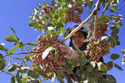رونق کاشت و برداشت پسته در جنوب استان