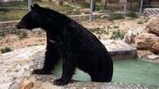 مرگ خرس سیاه باغ وحش شیراز با نیش مار