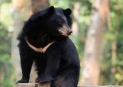 ویدئو | نبرد نفسگیر ببر و خرس سیاه