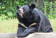 خرس آسیایی به مکان جدیدی در باغ وحش چاه نیمه زهک منتقل شد