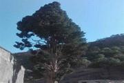 درخت ۶۰۰ ساله اَوِرس ثبت ملی شد