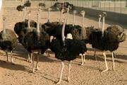 افزایش ظرفیت پرورش شترمرغ در استان مرکزی