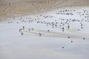 قتل عام پرندگان مهاجر در بندرانزلی