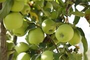 آغاز برداشت سیب پاییزه در بروجرد