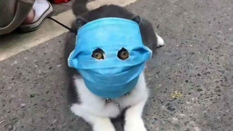 گربه-كرونا