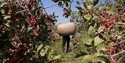 کارگران فصلی در رفسنجان کددار میشوند | نیاز روزانه به ۲۵ هزار پستهچین