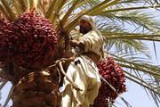 برداشت ١٠ هزار تن خرما در ایرانشهر