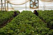 ۵۴۷ میلیارد ریال تسهیلات برای گلخانههای کردستان
