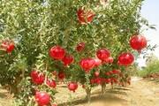 فیلم | دل شاد کشاورزان سیروان از برداشت انار