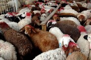 کشف بیش از ۴ هزار گوسفند قاچاق در بوانات و آباده
