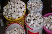 تولید ۳ هزار تن قارچ در ۱۸۰ کارگاه صنعتی و خانگی