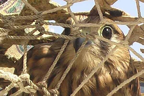 پرنده شکاری