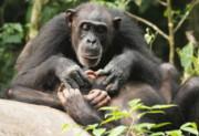 شامپانزهها هم تا آخر عمر از یتیم بودن رنج میکشند!