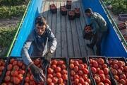 خرید ۱۳ هزار تن گوجهفرنگی از کشاورزان