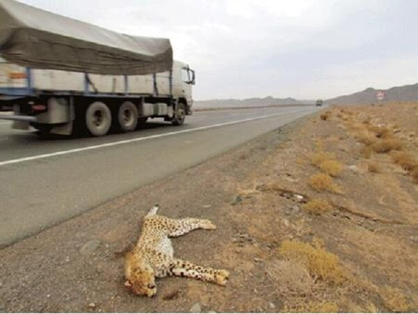 تصادف یوزپلنگ