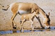 افزایش گورخرهای ایرانی پارک ملی کویر