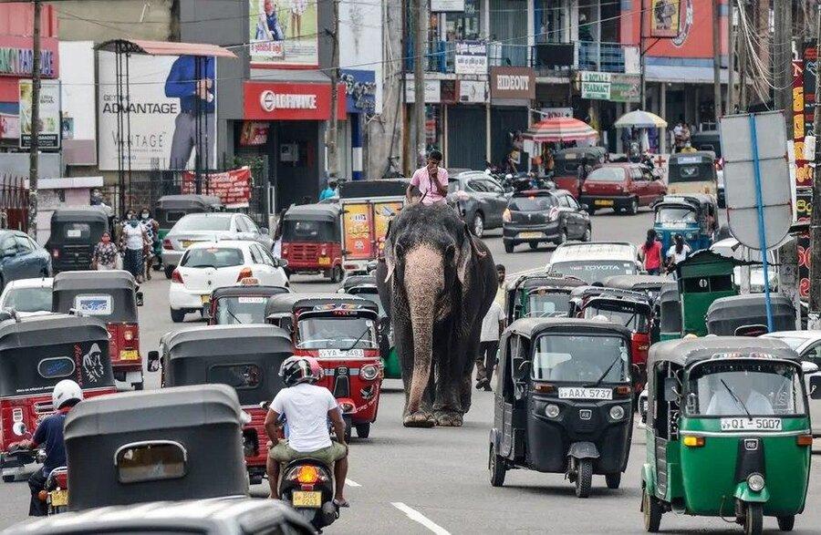 عبور یک فیل از خیابانی در شهر کلمبو سریلانکا/ خبرگزاری فرانسه