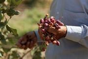 آغاز اولین برداشت اقتصادی از باغهای پسته ملایر