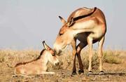 امنیت گونههای در معرض انقراض در زیستگاههای سمنان