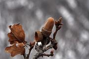 چرا درختهای بلوط خشک میشوند؟