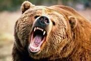 حمله خرس قهوهای به یکی از اهالی ورزقان