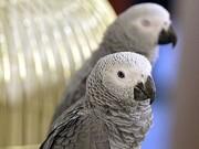 فحاشی عجیب طوطیها که باعث اخراج آنها از باغوحش شد