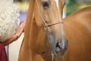 قضاوت داور روس در رقابت ملی زیبایی آیینی اسب ترکمن