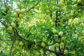برداشت سیب و انگور در سیسخت