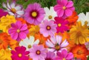 رنگ گلها در واکنش به گرمایش زمین در حال تغییر است