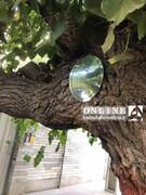 عکس | پلاککوبی درختان ۱۰۰ ساله تهران