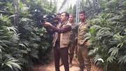 ماجرای ماریجوانای ایرانی؛ پشت پرده توسعه کشت غیرمجاز محصولی ممنوعه در ایران