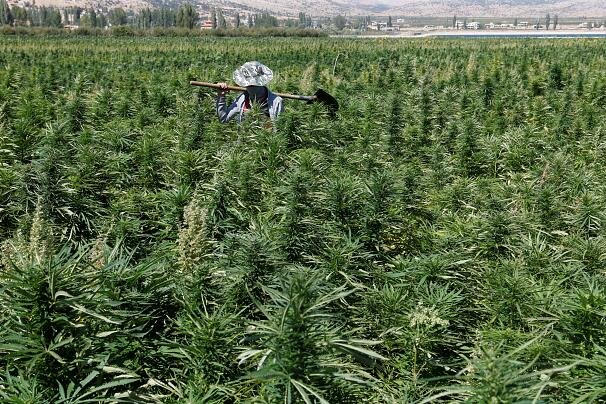 مزرعه شاهدانه