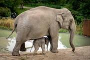 عکس روز  فیل نوزاد باغوحش کپنهاگ