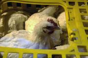 کشف دو هزار قطعه مرغ قاچاق در شهرستان بهار