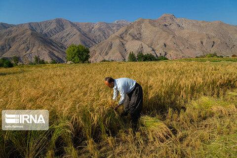 برداشت برنج الموت
