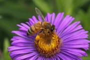 کشف مادهای در زهر زنبور عسل که خاصیت آنتیبیوتیکی دارد
