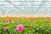 احداث تخصصیترین گلخانه تولید گل رز با ظرفیت صادراتی در نمین