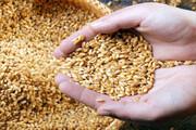 مشکل کمبود بذر گندم حل میشود